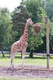 Stehende Giraffe isst Gras Stockfoto
