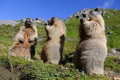 Stehende Murmeltiere in den Bergen essen mit ihren Tatzen Stockfoto