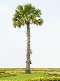 Stehende Palme Stockfotos