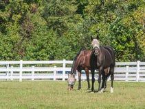 Stehende Pferde beim Weiden lassen lizenzfreies stockfoto