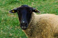 Stehende Schafe in der frischen Wiese Lizenzfreies Stockbild