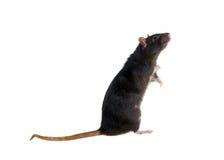 Stehende schwarze Ratte Lizenzfreies Stockfoto