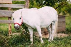 Stehende weiße Pony Is Eating Grass At-Landschafts-Ranch Nag In Red Bridle Stockfotografie