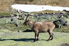 Stehender alpiner Steinbock Lizenzfreies Stockbild