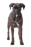 Stehender Boxerhund Stockfoto