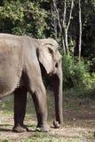 Stehender Erwärmungsselbst des asiatischen Elefanten in der Sonne stockfoto