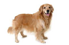 Stehender goldener Apportierhund Lizenzfreie Stockbilder
