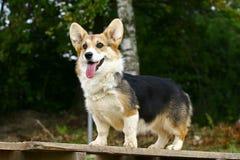 Stehender Hund Lizenzfreie Stockfotos