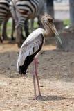 Stehender langer Mund-Vogel Stockbilder