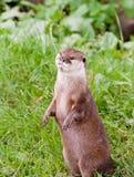 Stehender Otter Lizenzfreie Stockfotografie
