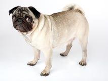 Stehender Pug stockbilder