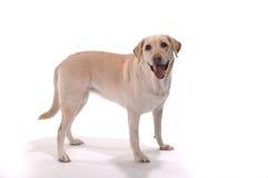 Stehender weißer Hintergrund des gelben Laborapportierhunds Lizenzfreies Stockbild