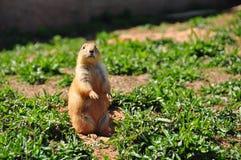 Stehendes Eichhörnchen Lizenzfreie Stockbilder