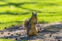Stehendes Eichhörnchen Lizenzfreies Stockbild