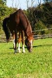 Stehendes Pferd getrennt Stockbild