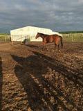 Stehendes Pferd getrennt stockbilder