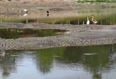Stehendes stillstehendes Gehen des Storchs und der Gans, die Jagd nach Fischen suchend Lizenzfreie Stockbilder