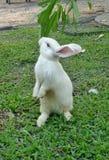 Stehendes weißes Kaninchen Stockfoto