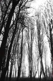 Steife Winter-Bäume Stockfoto