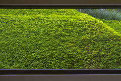 Steigende Grünpflanze außerhalb des sehr großen Fensters Stockfotos