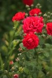 Steigende rote Rosen Stockfoto