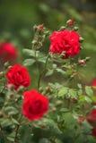 Steigende rote Rosen Stockbild