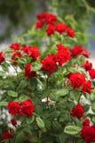 Steigende rote Rosen Lizenzfreies Stockfoto