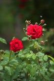 Steigende rote Rosen Stockfotos