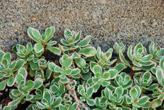 Steigende Succulents Stockbilder