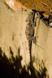Steigende Wand der Eidechse Stockfotos