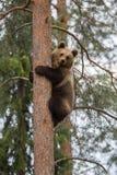 Steigender Baum des Brown-Bären im Wald stockbilder