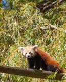Steigender Baum des roten Pandas Stockbilder