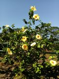 Steigender gelber Hibiscus Stockfotografie