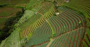 Steigung von terassenförmig angelegten Feldern mit üppigen Anlagen stock video