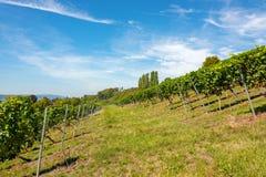 Steile Abhänge mit Weinstöcken nahe Birnau auf Bodensee lizenzfreie stockbilder