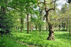 Steile oude Eiken bomen Royalty-vrije Stock Foto's