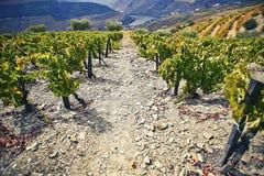 Steile, steenachtige weg onder groene wijnstruiken met de rivier op de achtergrond Dourogebied portugal stock foto
