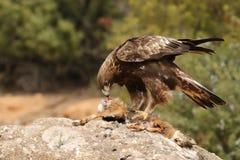 Steinadler auf den Felsen Lizenzfreie Stockfotografie