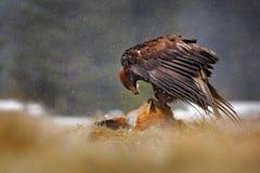 Steinadler, der auf getöteten roten Fox im Wald während des Regens und der Schneefälle einzieht Vogelverhalten in der Natur Fütte stockbild