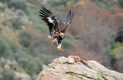Steinadler, der den Fuchs mit Greifern hält Stockfoto