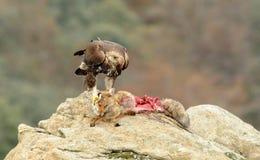 Steinadler, der den Fuchs mit Greifern hält Lizenzfreies Stockbild