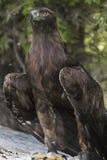 Steinadler an der kanadischen Raubvogel-Erhaltung Stockbild