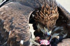 Steinadler (erne, Aquilla Chrisaetos), essend nach einer erfolgreichen Jagd, Kirgisistan Stockfoto