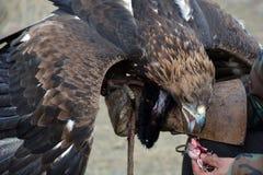 Steinadler (erne, Aquilla Chrisaetos), essend nach einer erfolgreichen Jagd, Kirgisistan Lizenzfreies Stockbild