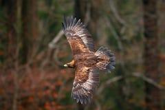 Steinadler, fliegend vor Herbstwald, brauner Raubvogel mit großer Spannweite, Norwegen Szene der Aktionswild lebenden tiere von d Lizenzfreie Stockfotos