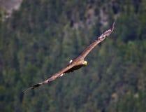 Steinadler im Flug, der in Richtung zum Beobachter gleitet Lizenzfreies Stockfoto