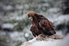 Steinadler im Schnee Stockbilder