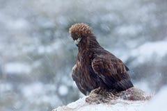 Steinadler im Schnee mit Tötungshasen, Schnee im Wald während des Winters Snowy-Wald mit Steinadler Vogel im Naturlebensraum Lizenzfreies Stockbild