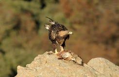 Steinadler isst einen Fuchs Stockbild