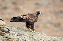 Steinadler mit einer Taube hockt auf seinem Felsen Lizenzfreies Stockfoto